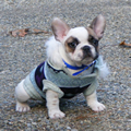 Butterfly French Bulldog Puppies fpr Sale